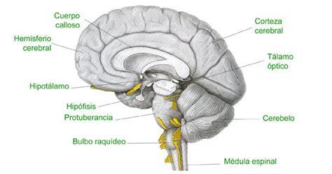 partes del bulbo raquideo bulbo raqu 237 deo estructura anat 243 mica y funciones