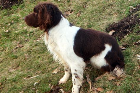 gun dogs for sale pin gun dogs etc for sale guns pigeon forums on