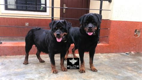 4 month rottweiler rottweiler puppies 4 months merry photo