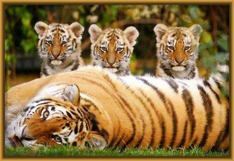imagenes sorprendentes de tigres fotos de tigres y leones cachorros archivos fotos de tigres