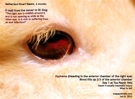 hyphema in dogs veterinary medicine surgery singapore toa payoh vets dogs cats rabbits guinea
