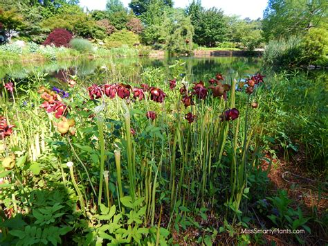 Ginter Botanical Gardens Sarracenia At Lewis Ginter Botanical Gardens Miss Smarty Plants