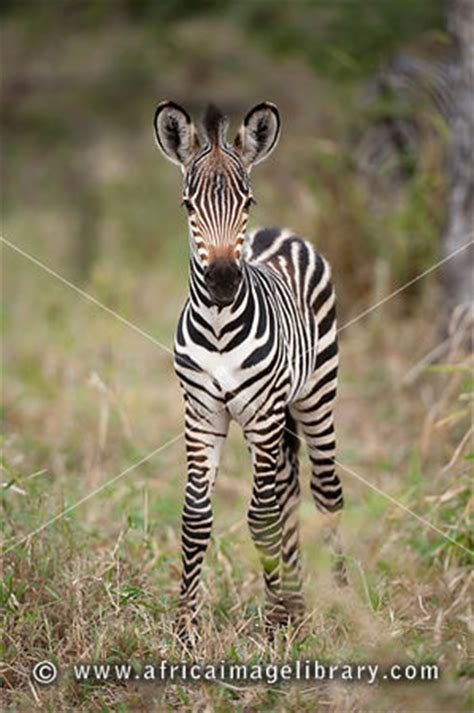 Mj Zebra by Photos And Pictures Of Burchell S Zebra Equus Burchellii