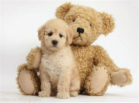 what is a teddy teddy puppy 2017 2018 best cars reviews