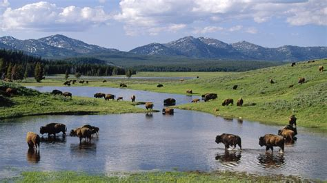 yellowstone national park wallpapers high definition american world wyoming yellowstone national park bison