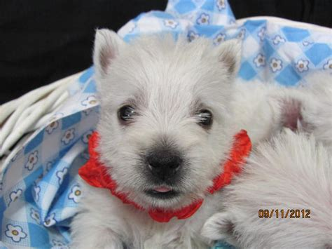 westie puppies for sale in pa westies puppies pa nancys westies maisies litter of westie puppies for sale