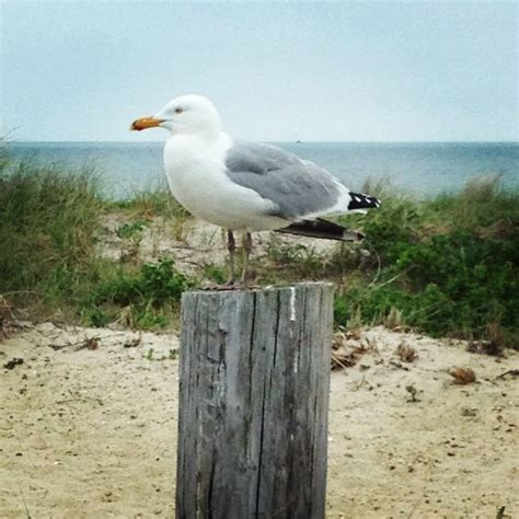 seagull cape cod 17 best ideas about hyannis cape cod on cape