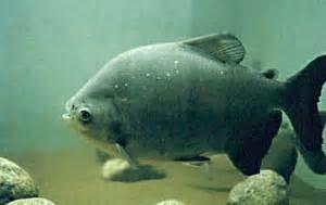 Benih Ikan Bawal Yang Bagus cara memulai usaha budidaya bawal