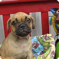 pugs for adoption in ma groton ma pug mix meet gadget a puppy for adoption