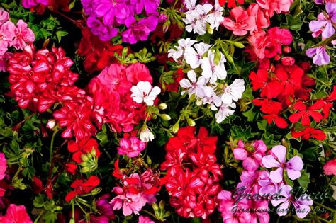 care of geraniums in want of a green thumb pinterest