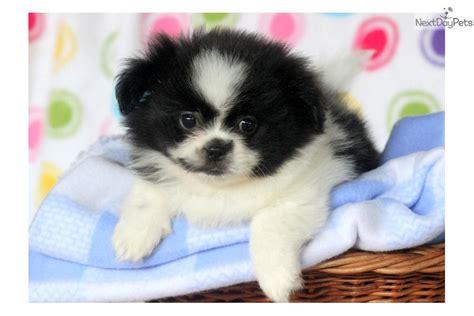 peekapom puppies peek a pom puppy for sale near lancaster pennsylvania 32b1d15b 4491