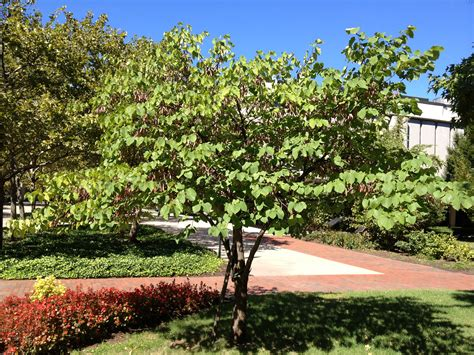 file redbud tree cercis canadensis broad view jpg