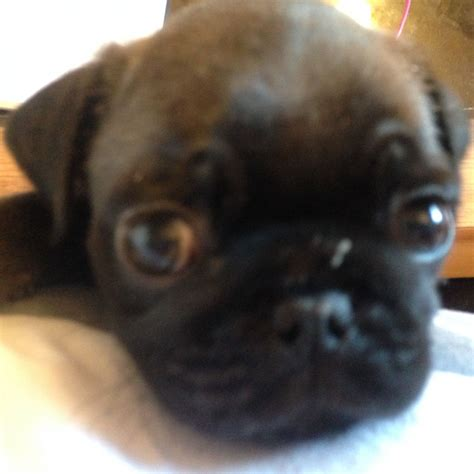 silver pug for sale silver pug boy for sale glasgow lanarkshire pets4homes