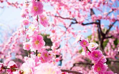japanese cherry blossom wallpaper 1920x1080 wallpapersafari