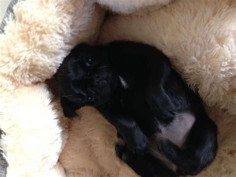 black pug teddy beautiful black pug teddy doncaster south pets4homes