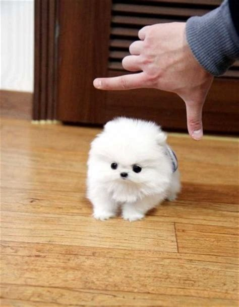 tiny teacup pomeranian micro tiny teacup pomeranian animals