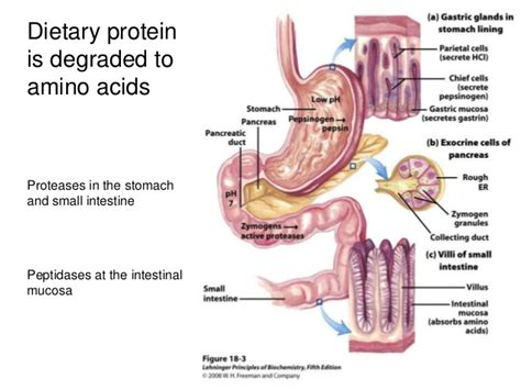 protein catabolism beta oxidation protein catabolism