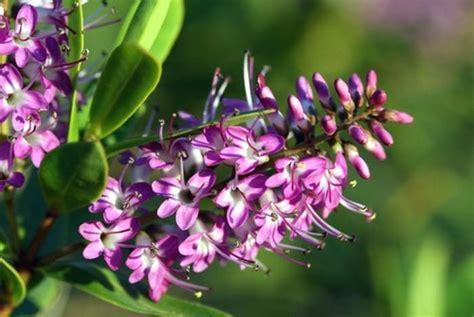 N 1 Violet 100 flowers fleurs n 176 2 violet purple