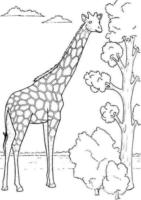 giraffe coloring pages free printable giraffe free colouring pages
