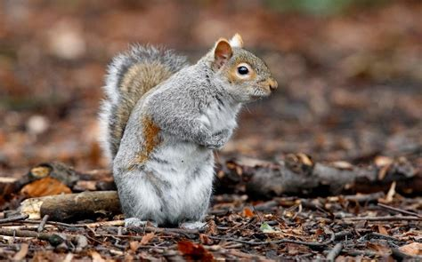 grey squirrels may have outlasted red squirrels in britain