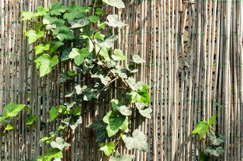 pflanzen die viel sonne vertragen efeu in der sonne anpflanzen 187 wie viel licht vertr 228 gt er