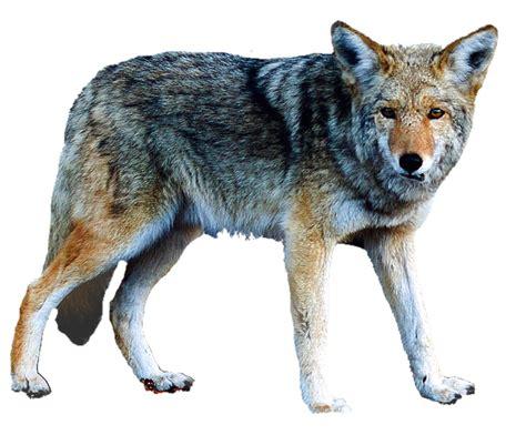 imagenes en png de animales foto gratis aislado lobo animales imagen gratis en