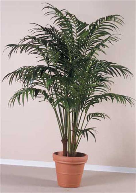 palme da vaso kentia consigli coltivazione e cura