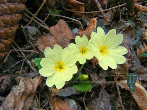 nome fiore giallo in nome dei fiori primule fiori di primavera giallo chiaro