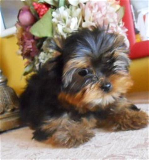 puppies for sale in minot nd pets dakota free classified ads