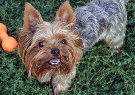 yorkie bark collar barking keeping you awake try the best bark collar for puppies