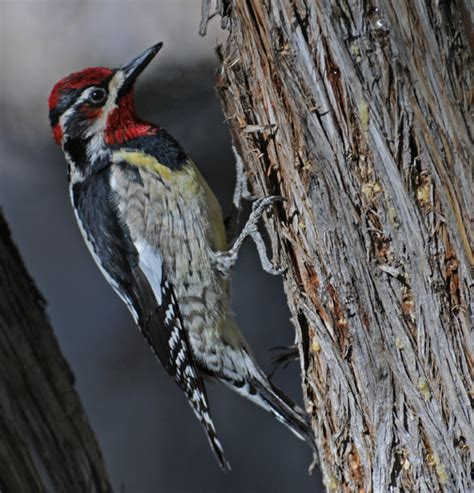 red naped sapsucker year round and winter birds bandelier national monument