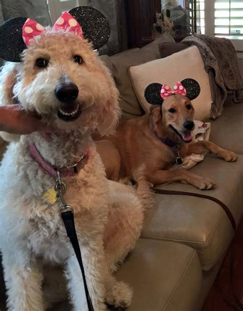 minnie mouse walk and play puppy san antonio goldendoodle models minnie mouse ears