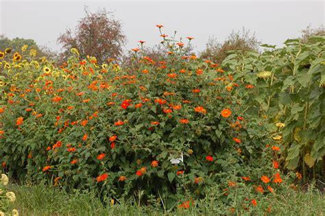 file mexican sunflower tithonia rotundifolia plants 3008px jpg