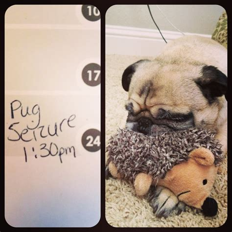 seizures in pugs insta friday 36