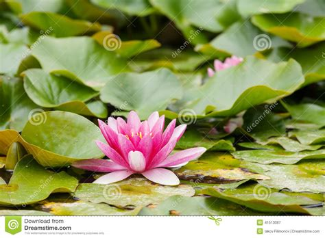 water lilies stock photo image 41513087