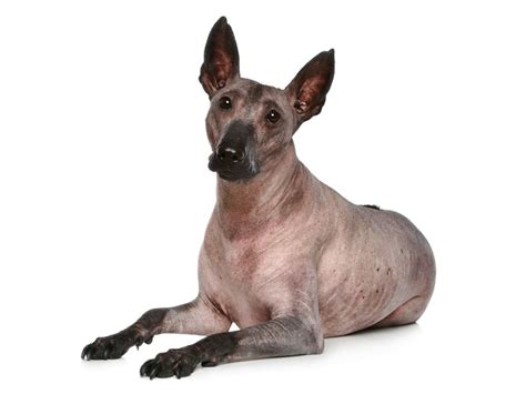 k9 breeds crested hairless puppy breeds picture