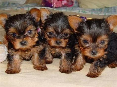 cheap teacup yorkie breeders american bulldog puppies tiny micro teacup yorkie puppies sale