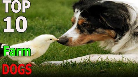 farm breeds top 10 farm breeds top 10 animals funnydog tv