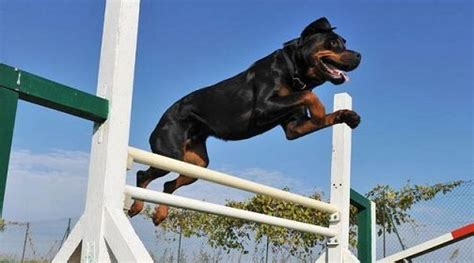 how to a rottweiler rottweiler guide how to a rottweiler