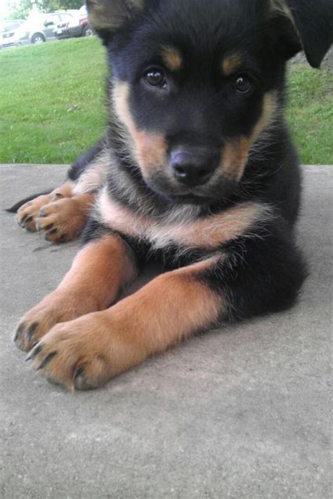 how much are german shepherd puppies best 25 puppy mix ideas on poodle mix puppies