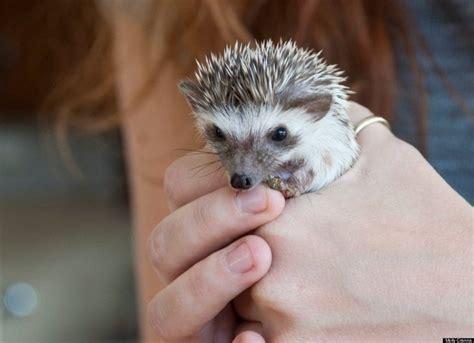 cute baby hedgehog smiling 84 best baby hedgehogs images on pinterest