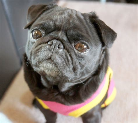 pug cafe tokyo kyoto s living room pug caf 233 lets all the dogs out photos soranews24