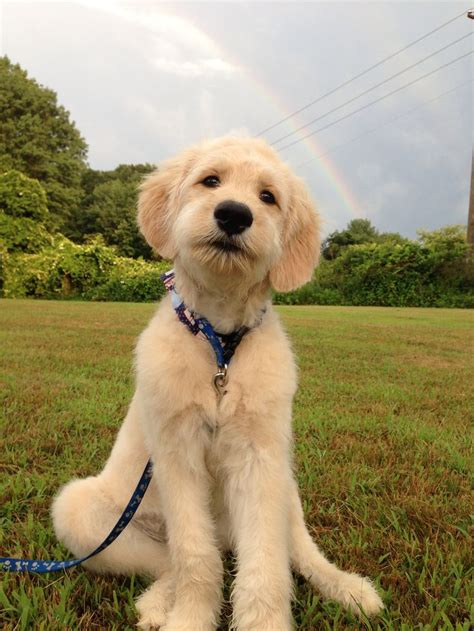 goldendoodle puppy cut 25 best ideas about goldendoodle haircuts on goldendoodle grooming