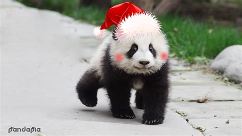 merry christmas  panda family giant panda channel