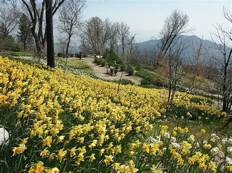 daffodil gardens slideshows swallow creek productions