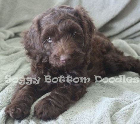labradoodle puppies for sale in alabama view ad labradoodle puppy for sale alabama demopolis usa