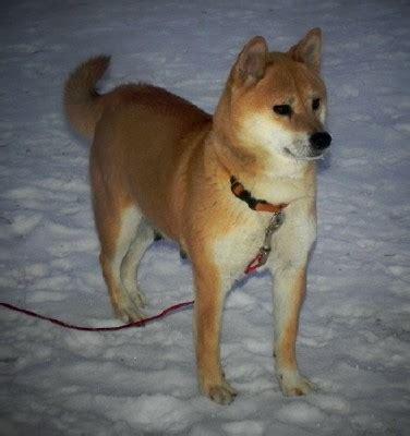 shiba inu puppies mn shiba inu shiba inu puppies home raised excellent health temperments black