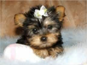 yorkies for adoption in arkansas teacup and yorkies for free adoption el dorado ar asnclassifieds