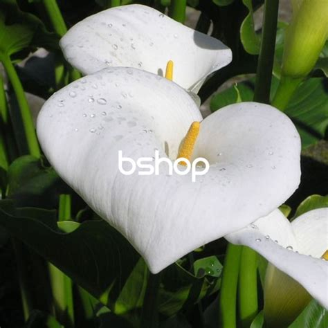 fiori calle bianche calle bianche