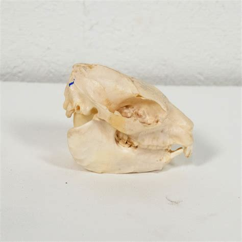 hyrax for sale rock hyrax skull taxidermy mounts for sale and taxidermy